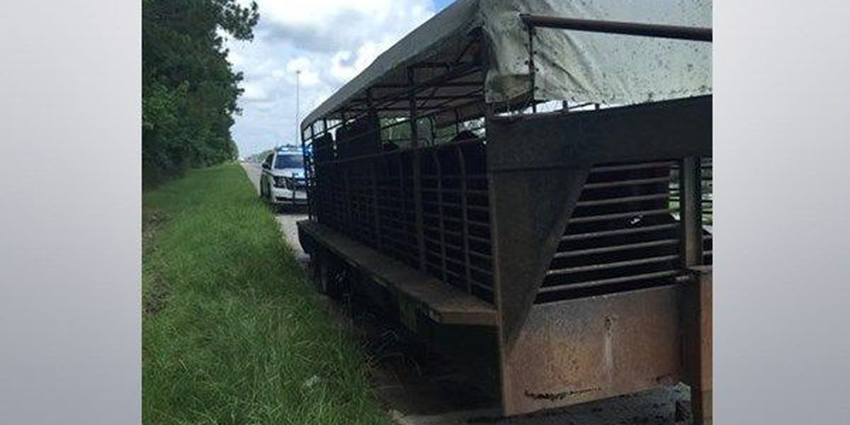 Cattle found in abandoned trailer on I-12