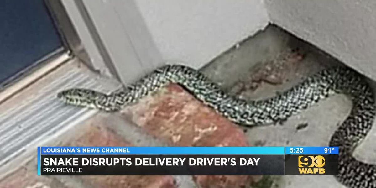 Delivery driver discovers king snake on doorstep
