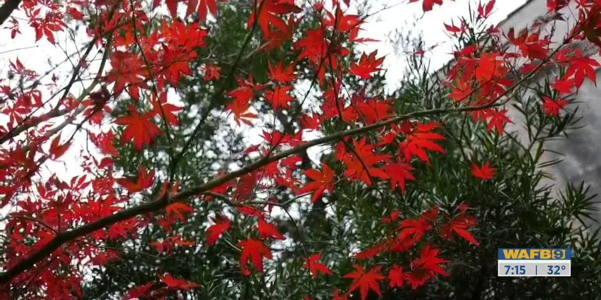 GET IT GROWING: Japanese maples