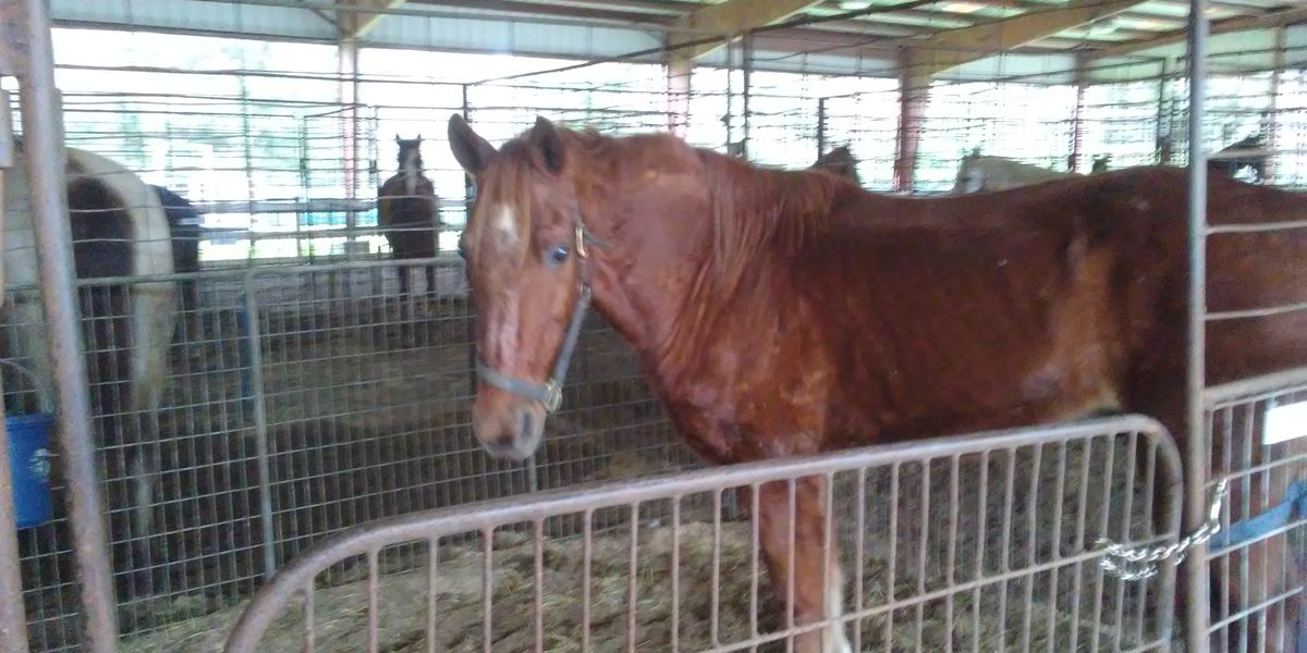 Mardi Gras parade horses find new homes thanks to adoption program