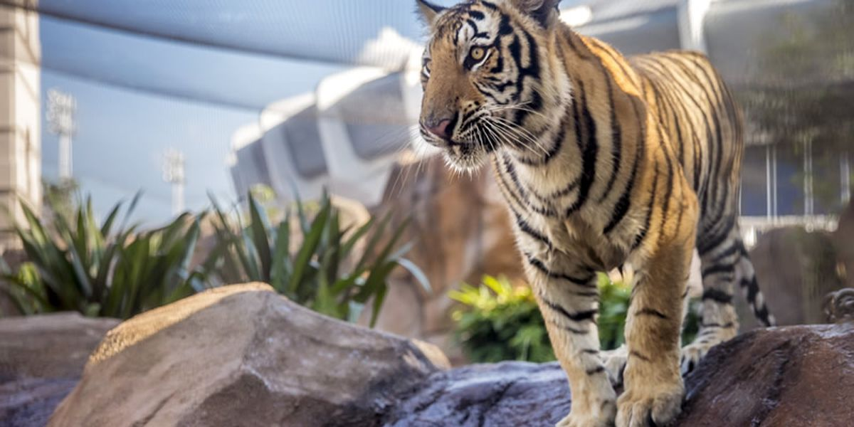 Petition with 65,000+ signatures calls for LSU to stop getting live tiger mascots