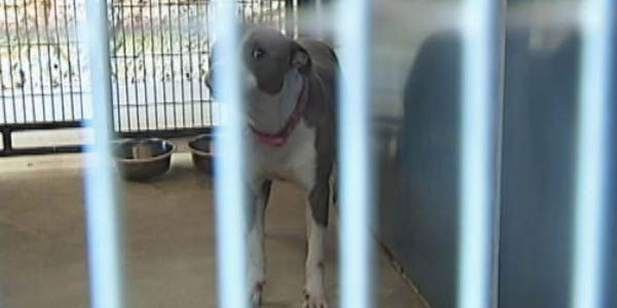 Panel declares pit bull accused of biting person is 'dangerous'