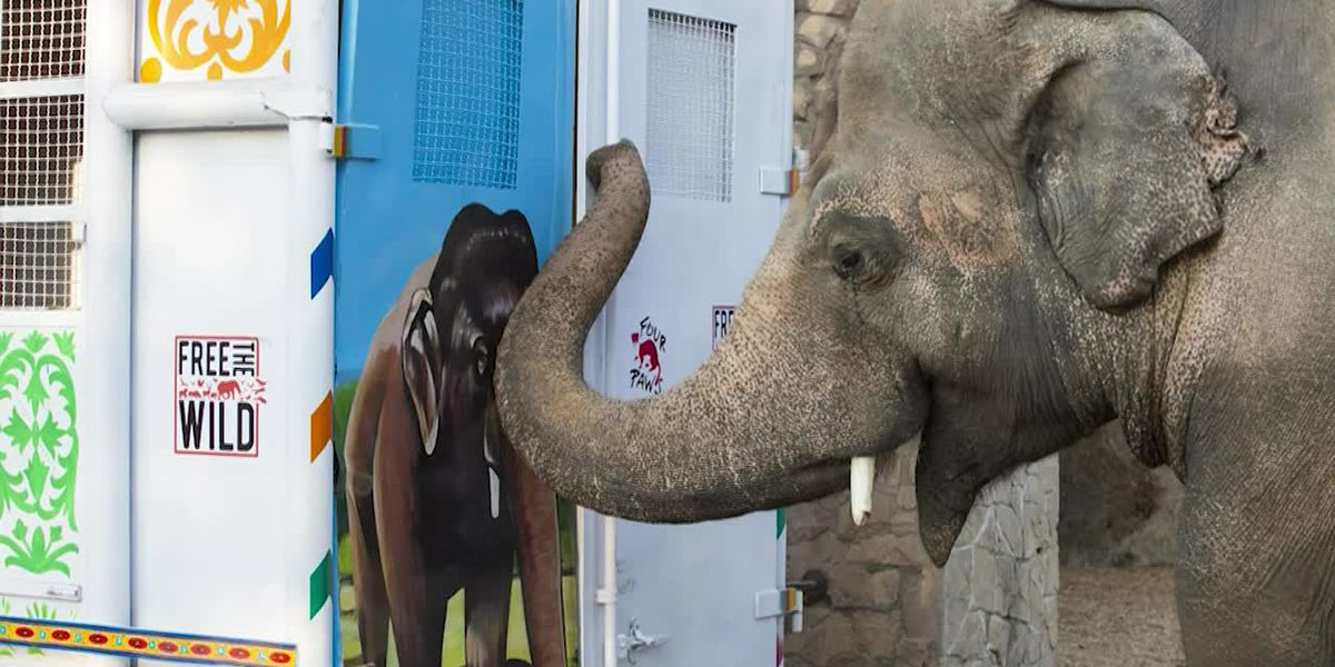 Journey of the lonely elephant Cher helped rescue