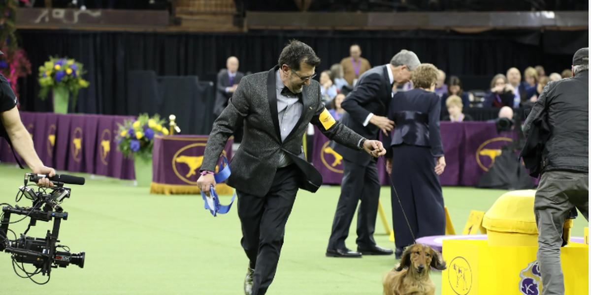 Sulphur dog takes home 'Best in Hounds' prize from Westminster Dog Show
