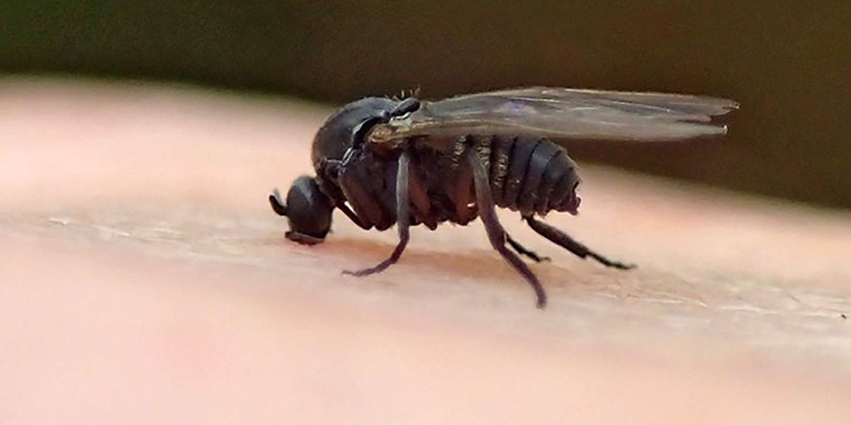 Biting black flies that crawl in nose, mouth, and eyes swarm in EBR Parish