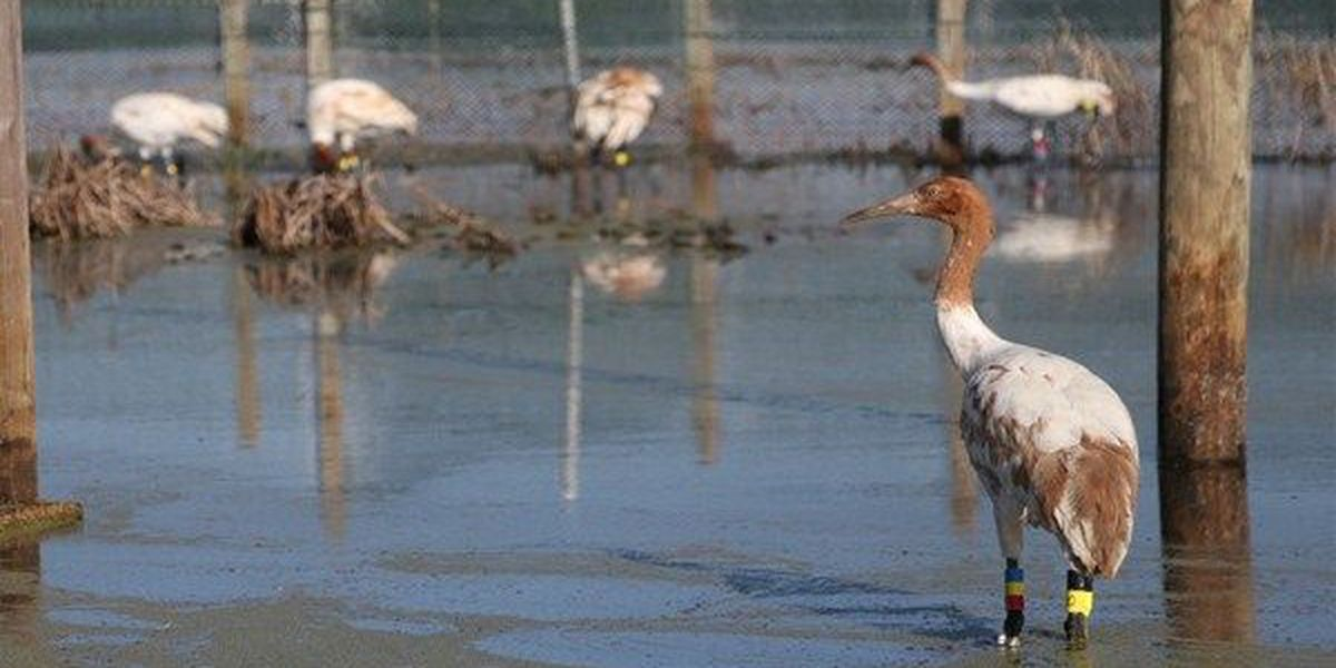 New conservation partnership launches in Louisiana with the release of 12 endangered whooping cranes