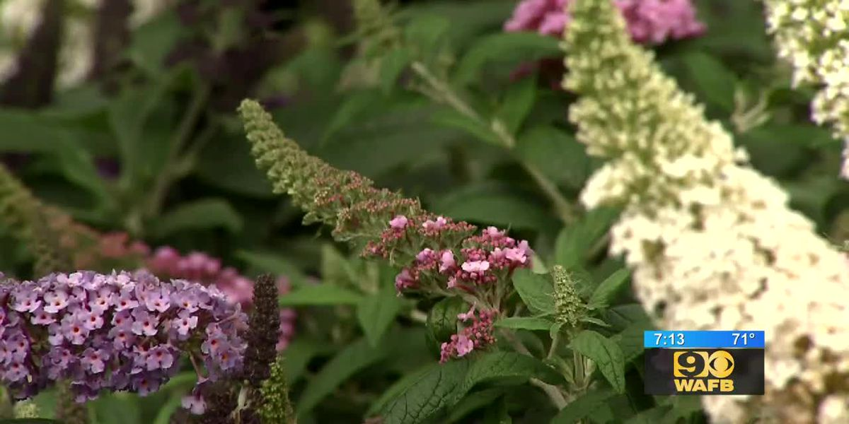 GET IT GROWING: This butterfly bush will add a unique pop of color to your garden